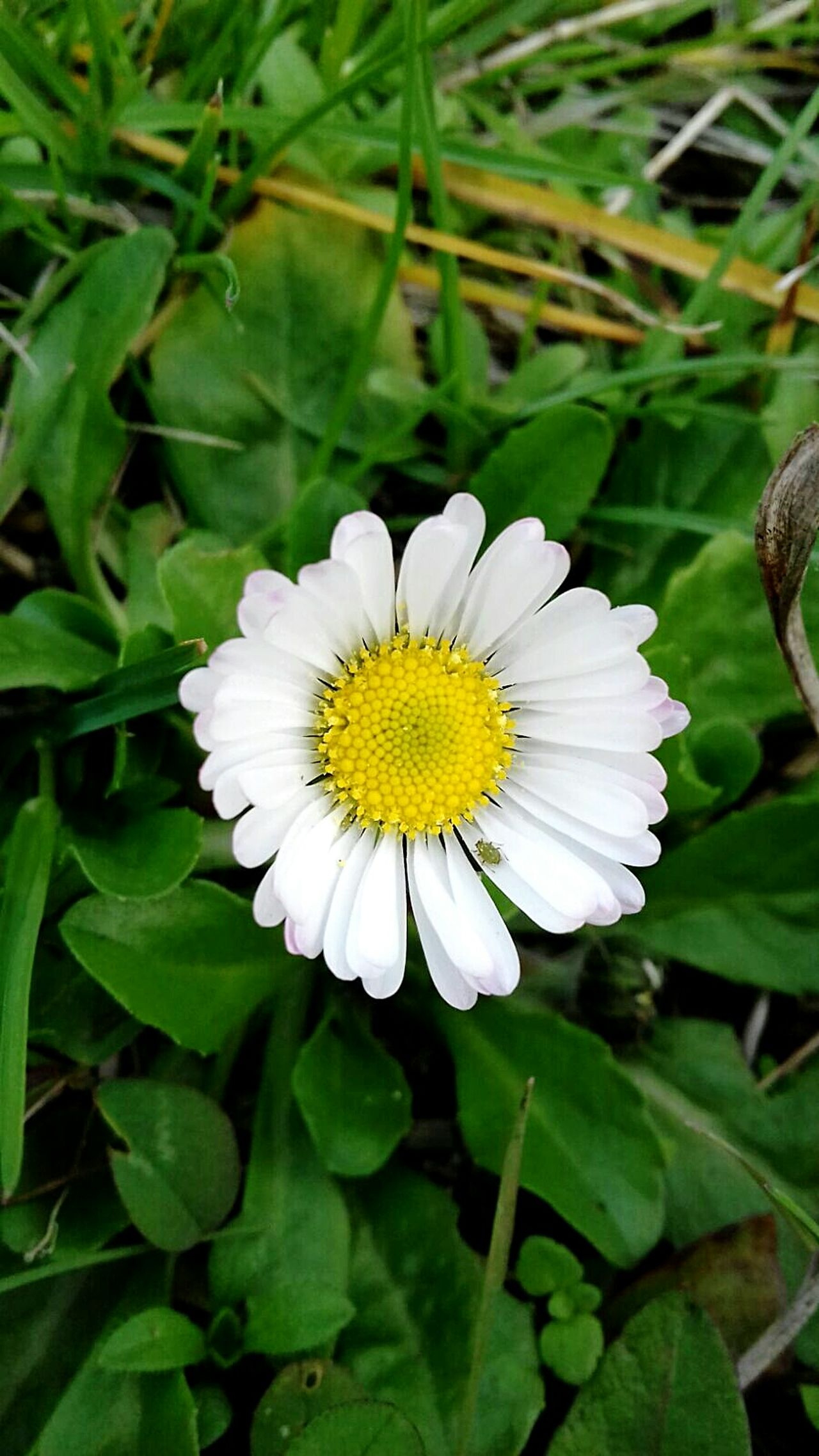Flower Beauty In Nature Nature Plant Fragility Flower Head Freshness Beauty Growth Petal Close-up Leaf Outdoors No People Day Daisy Close Up Spring Is Coming  Spring Simplicity Pureness Grass In The Grass Simply Beautiful