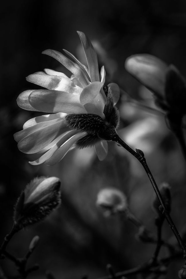 Magnolia study Monochrome Close-up Beauty In Nature Fuji X-T1 Blackandwhite Flower Collection Monochrome _ Collection Fine Art Photography Fineart_photo