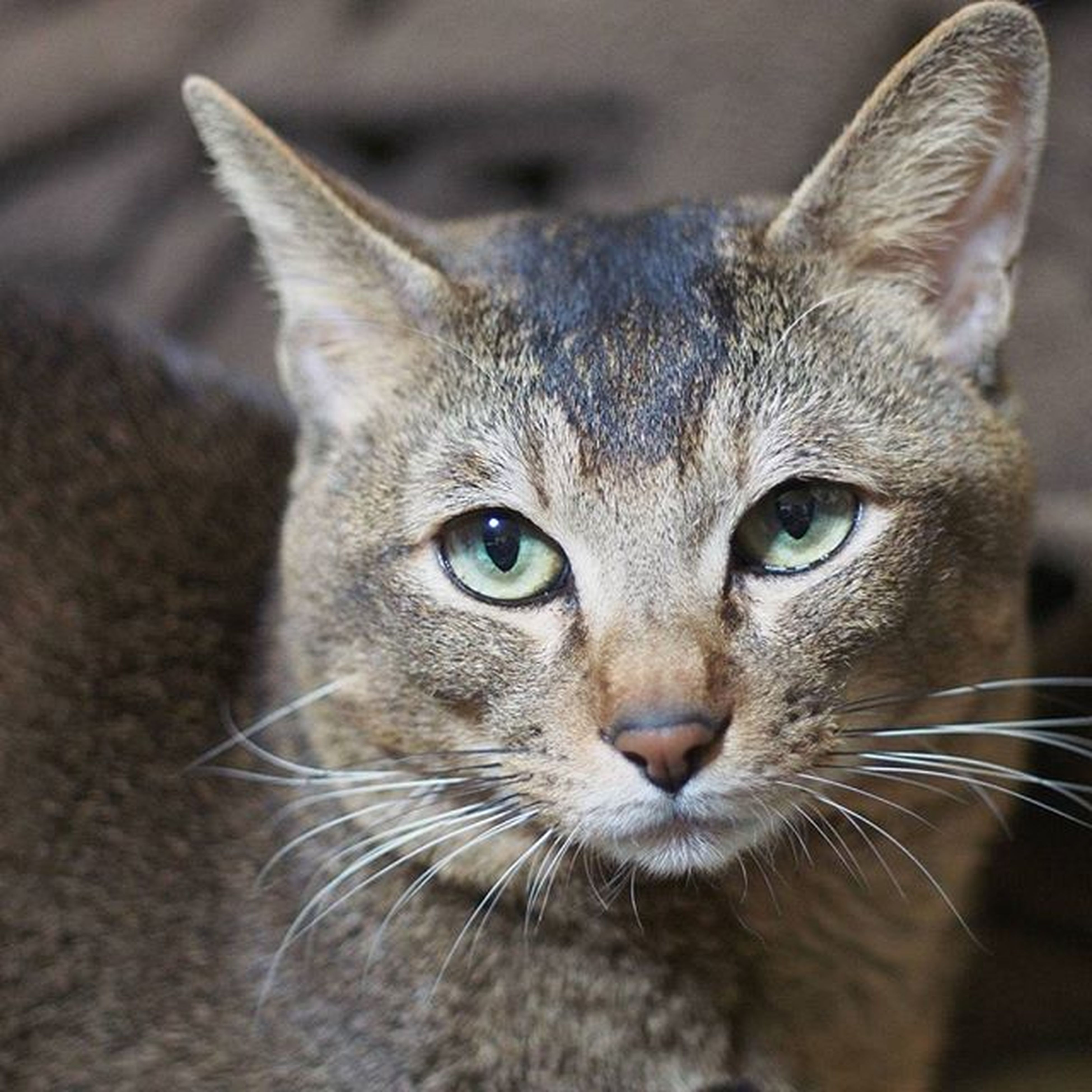 domestic cat, animal themes, one animal, cat, pets, domestic animals, whisker, portrait, feline, looking at camera, close-up, mammal, indoors, animal head, animal eye, focus on foreground, animal body part, alertness, staring, front view