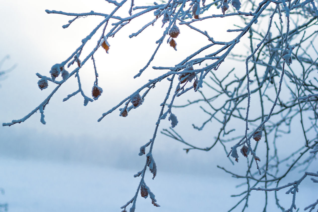branch, tree, nature, beauty in nature, winter, twig, cold temperature, low angle view, day, no people, tranquility, outdoors, frozen, fragility, flower, catkin, snow, bare tree, sky, close-up