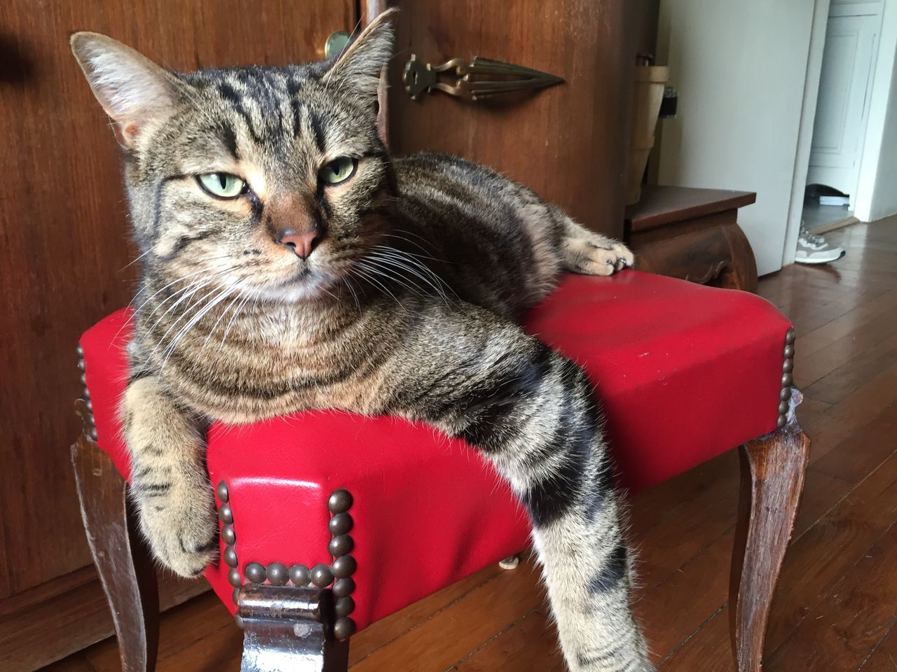 domestic cat, pets, domestic animals, mammal, one animal, animal themes, indoors, feline, looking at camera, table, chair, wood - material, no people, whisker, portrait, hardwood floor, sitting, close-up, day
