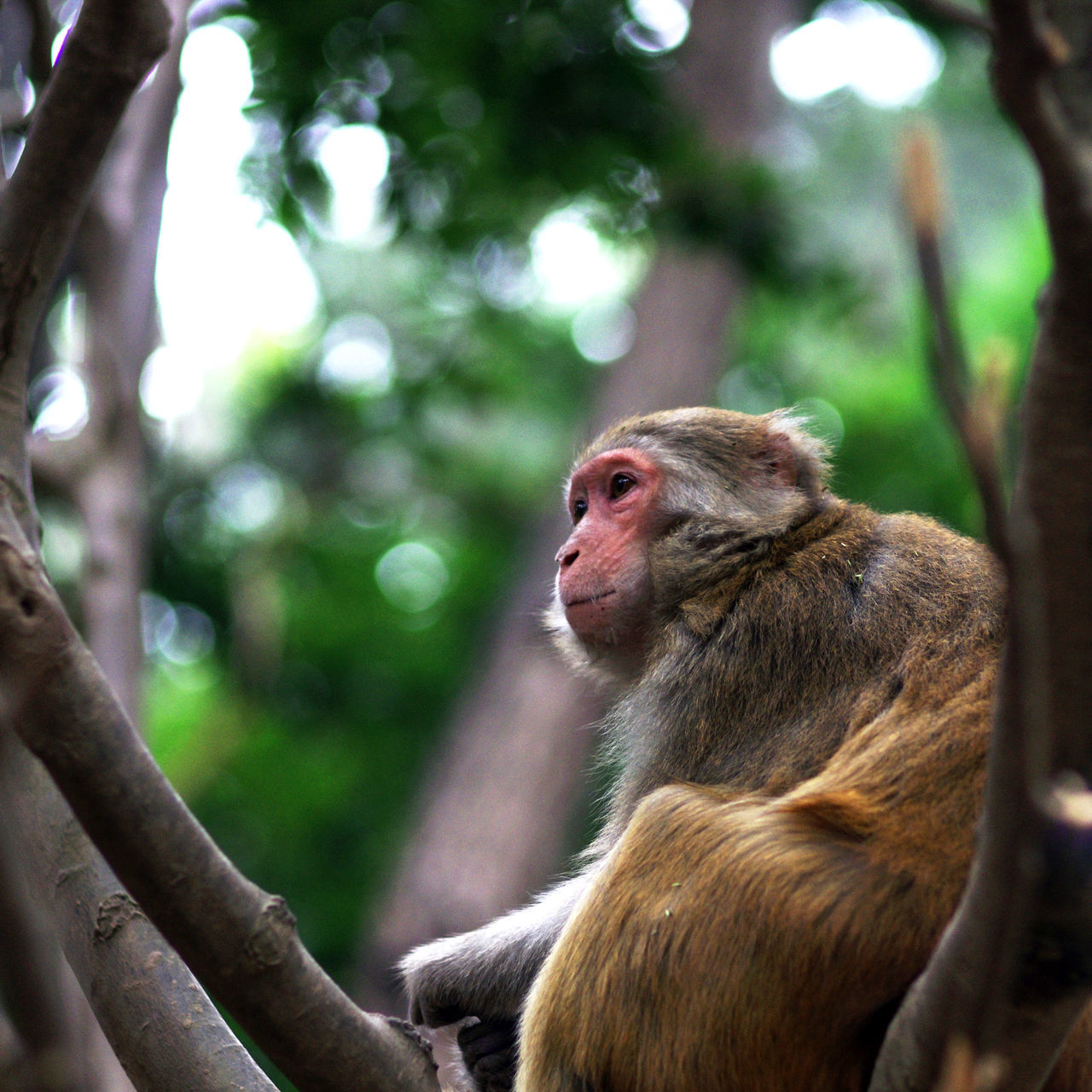 monkey, animals in the wild, animal themes, focus on foreground, animal wildlife, day, one animal, mammal, no people, outdoors, nature, tree, close-up, baboon, japanese macaque