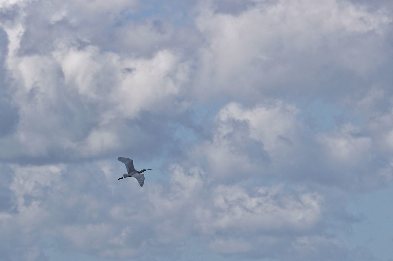 Spoonbill Lepelaar In Flight Birds In Flight Clouds And Sky Dutch Landscape Spring2015