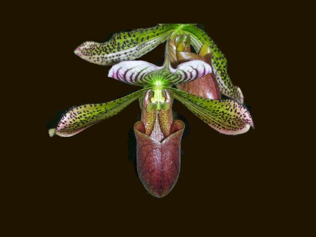 Lady slipper orchid Nature