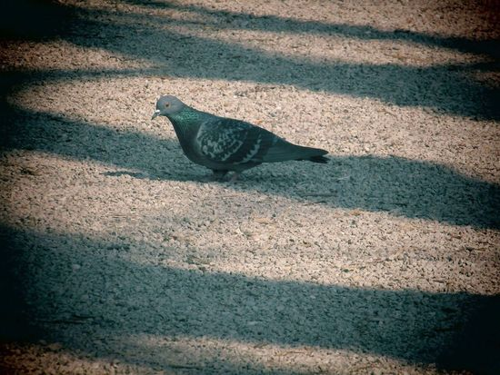 Pigeon 🕊 Shadow Nature Day One Animal Photography Pigeon Getty Images Alamy Images EyeEm EyeEm Gallery EyeEmNewHere Escapefromreality Close-up