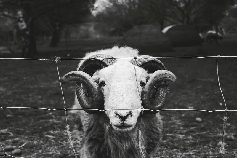 One Animal Looking At Camera Animal Themes Mammal Animal Livestock Domestic Animals Portrait Cage Outdoors Day Rural Scene Nature No People Tree Close-up Oil Pump Goat RAM Horns Eyes Goat Head Goat Life Blackandwhite Black & White Photography The Portraitist - 2017 EyeEm Awards The Great Outdoors - 2017 EyeEm Awards