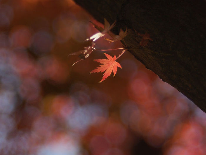 You'll never walk alone EyeEmNewHere Autumn Beauty In Nature Bokeh Bokeh Photography Change Leaf Maple Maple Leaf Nature No People Outdoors