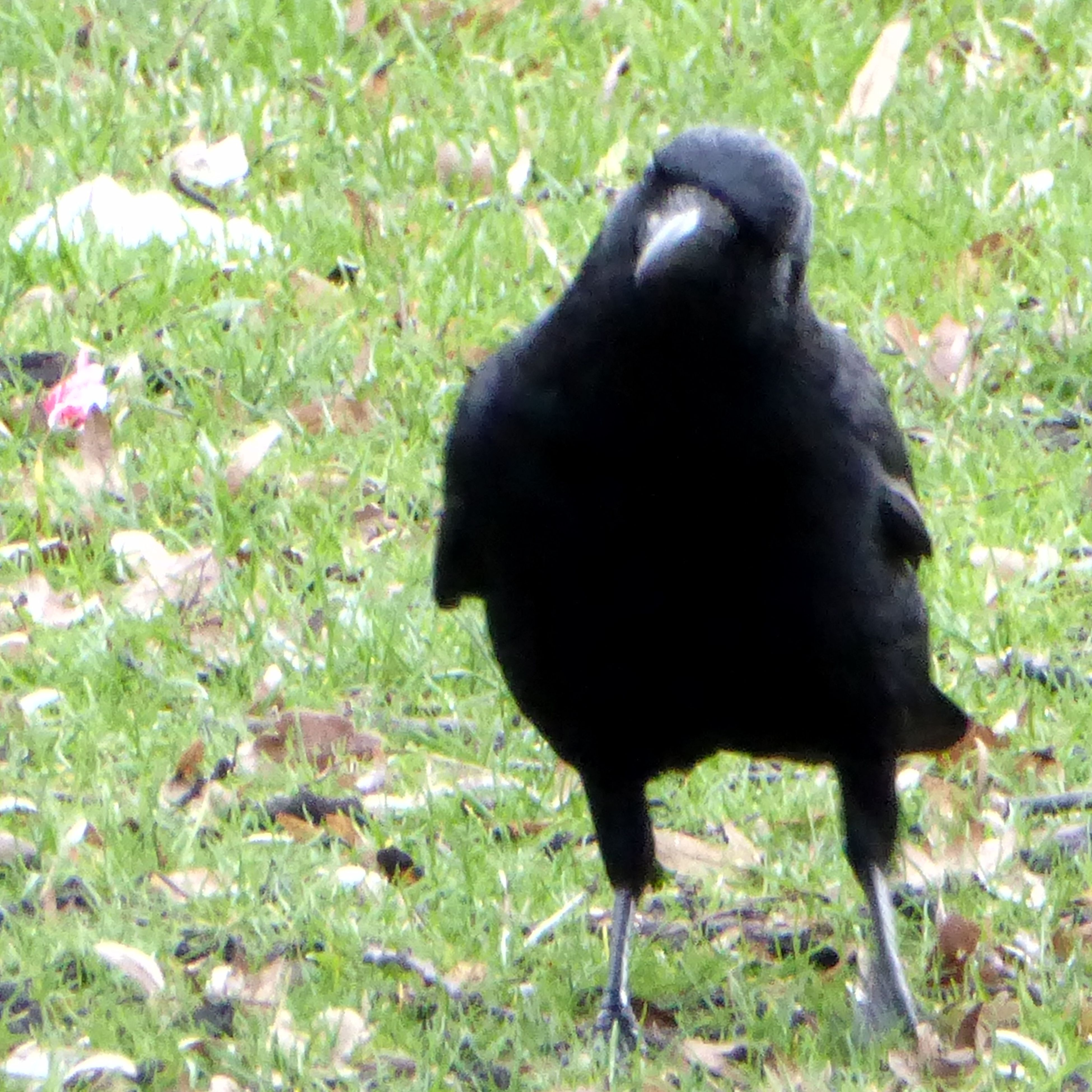 animal themes, grass, one animal, bird, animals in the wild, field, nature, black color, day, outdoors, no people, mammal
