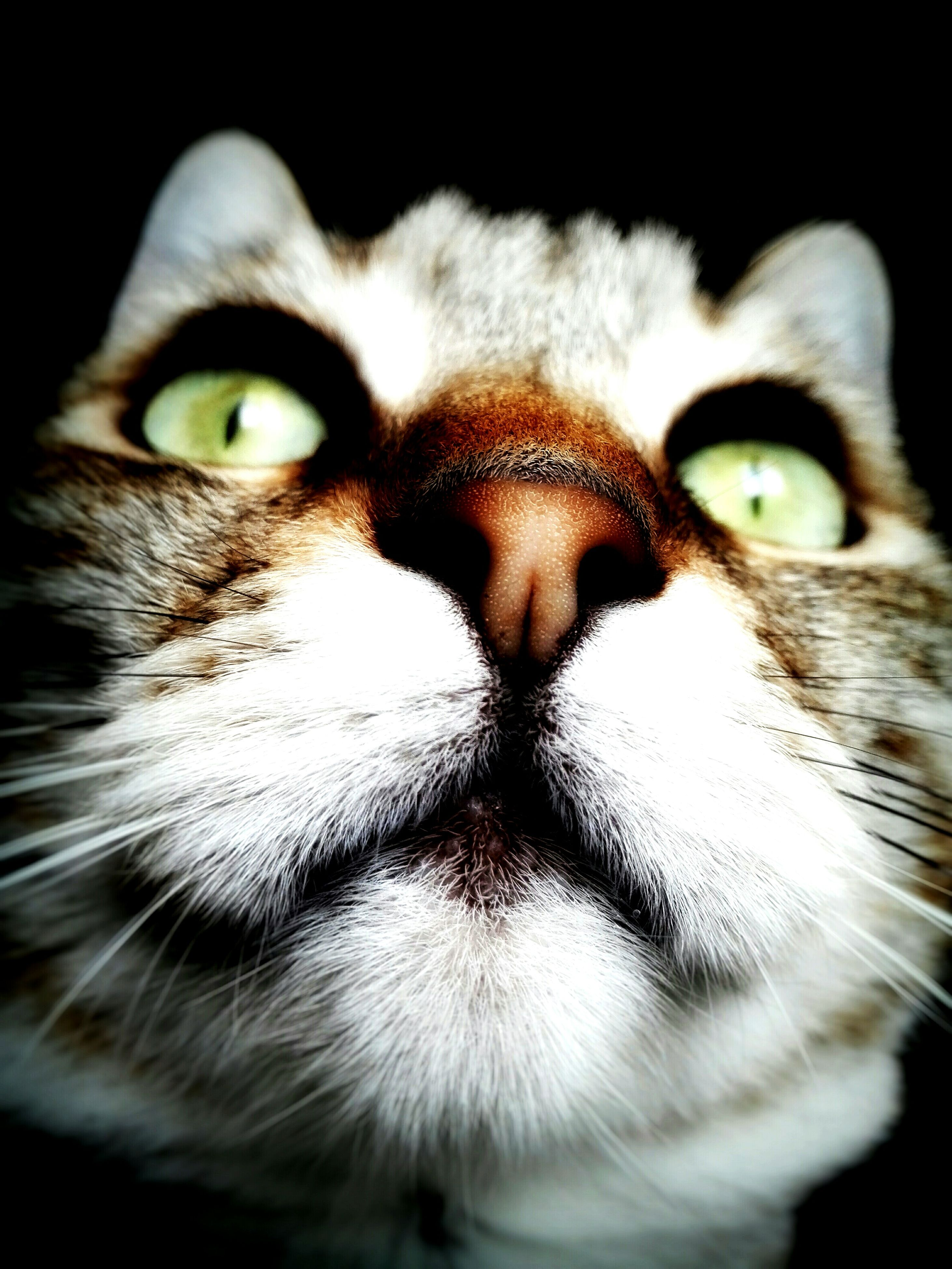 pets, one animal, animal themes, domestic animals, mammal, close-up, portrait, looking at camera, domestic cat, animal head, cat, whisker, animal body part, animal eye, feline, front view, focus on foreground, staring, studio shot, no people