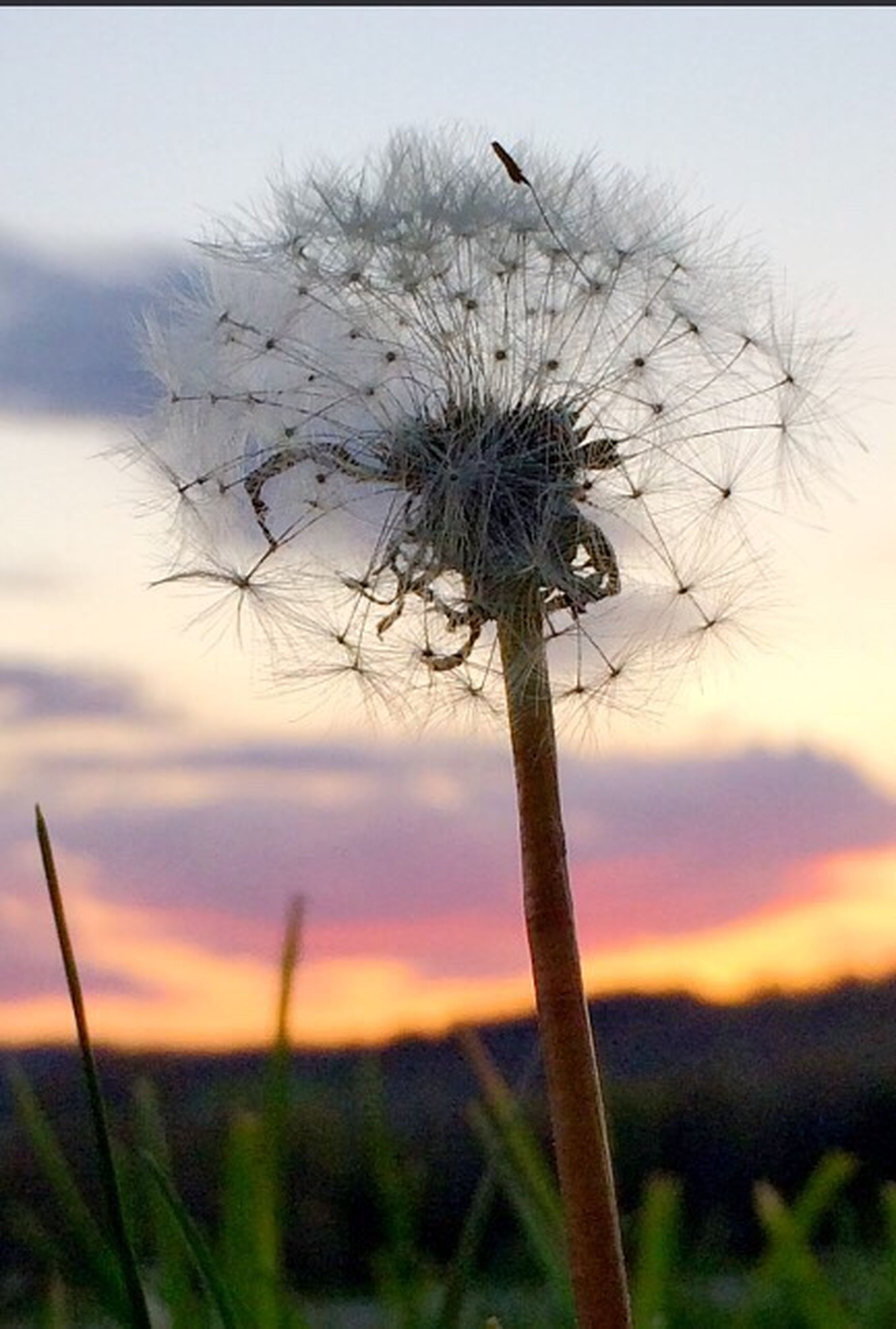 dandelion, growth, flower, stem, focus on foreground, close-up, plant, fragility, nature, sunset, beauty in nature, sky, field, freshness, tranquility, selective focus, outdoors, uncultivated, flower head, no people