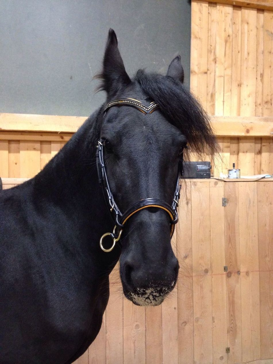 Lilli💝 Bitless Bridle Horse Domestic Animals One Animal Bridle Animal Themes Mammal Working Animal Livestock Stable Built Structure No People Close-up Day Architecture Outdoors Friesen I Love My Horse Black Horse I Love Horses Horses IPhoneography Indoors