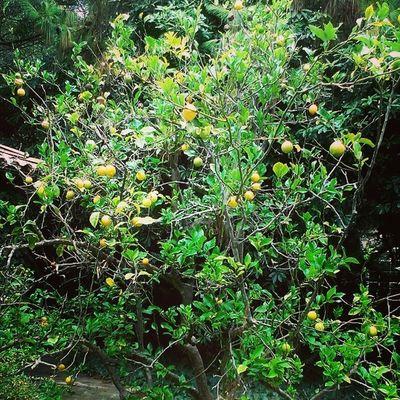 Farewell lovely Lemon tree! Shouldhavetakensome right near Operashouse NBD!