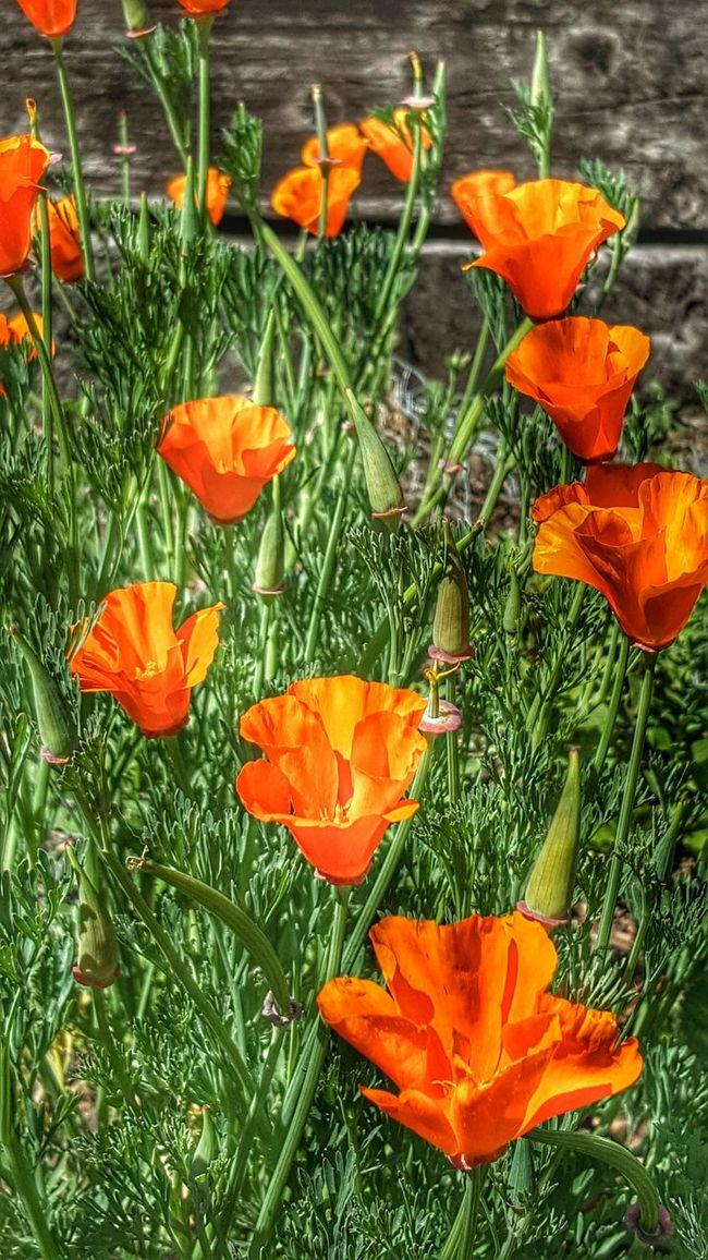 California Poppies California Poppy Orange Flower Wildflowers Beauty In Nature Nature's Artwork Tollhouse, Ca