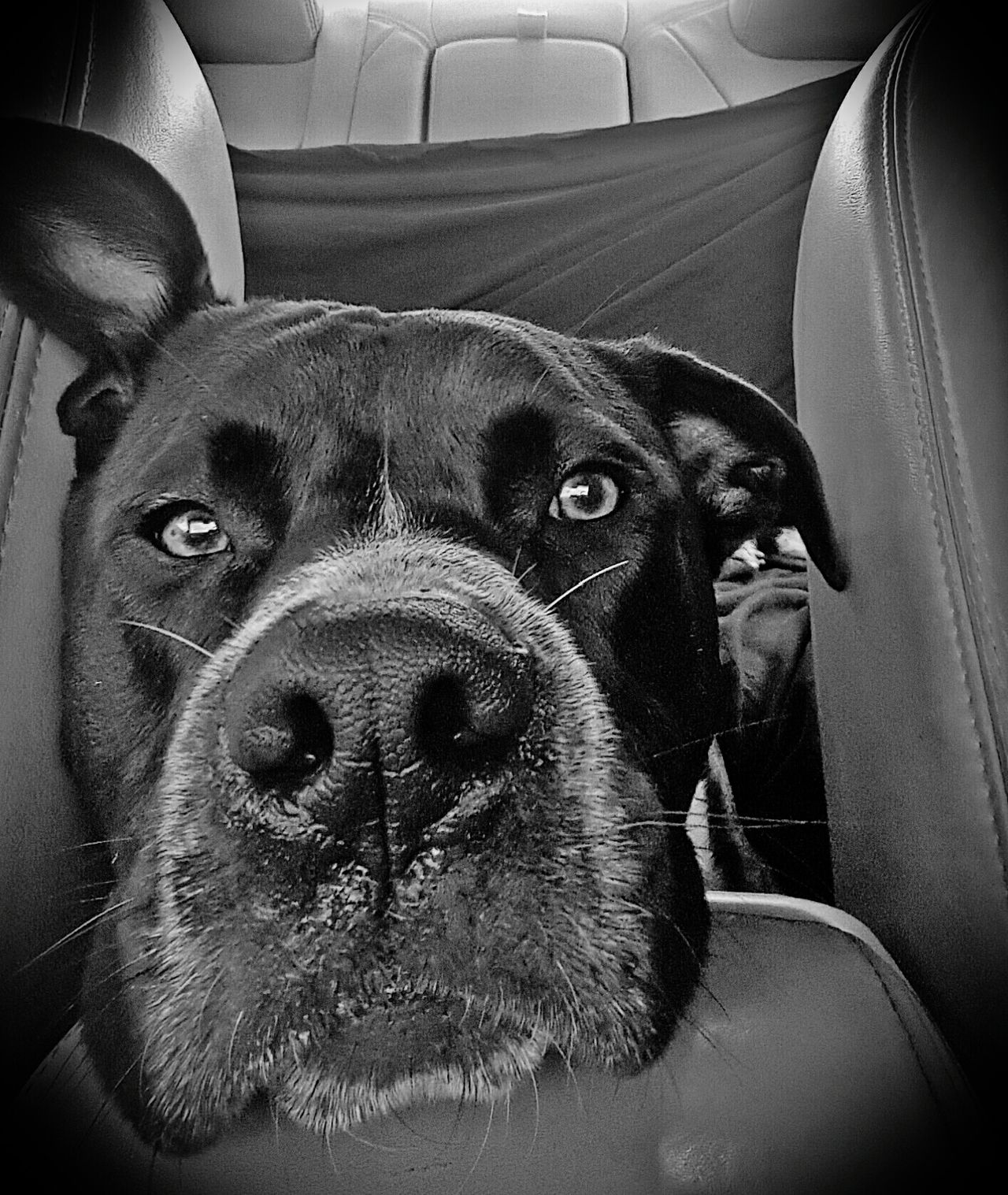 Animal Themes Mammal Pets Domestic Animals One Animal Close-up Dog No People Indoors  Portrait Day Maximum Closeness Pitbull Love PitBullNation Pitbull Lives Matter