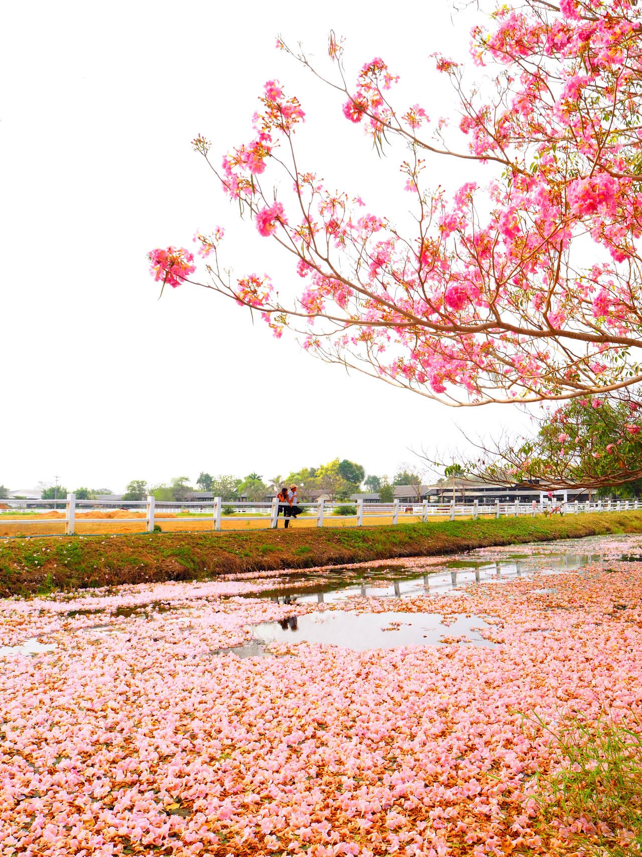 🌸Pink world🌸 Beauty In Nature Blooming Blossom Botany Feel The Journey Exceptional Photographs Spotted In Thailand Nature The Great Outdoors With Adobe Outdoors Landscapes Pastel Power Petal The Great Outdoors - 2016 EyeEm Awards Pink Color Pink Flower My Favorite Photo Color Palette Relaxing Moments Tadaa Community Thailand Travel Water Reflections Yeah Springtime! Everything In Its Place Millennial Pink