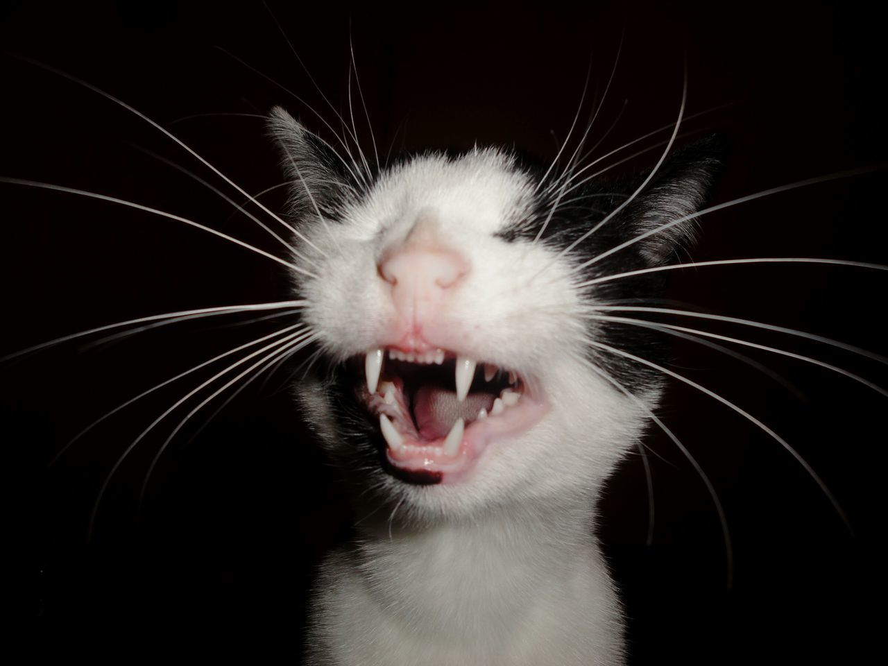 Mouth Open Black Background Pets Yawning Catlover Blackandwhitecat Close-up Fangs
