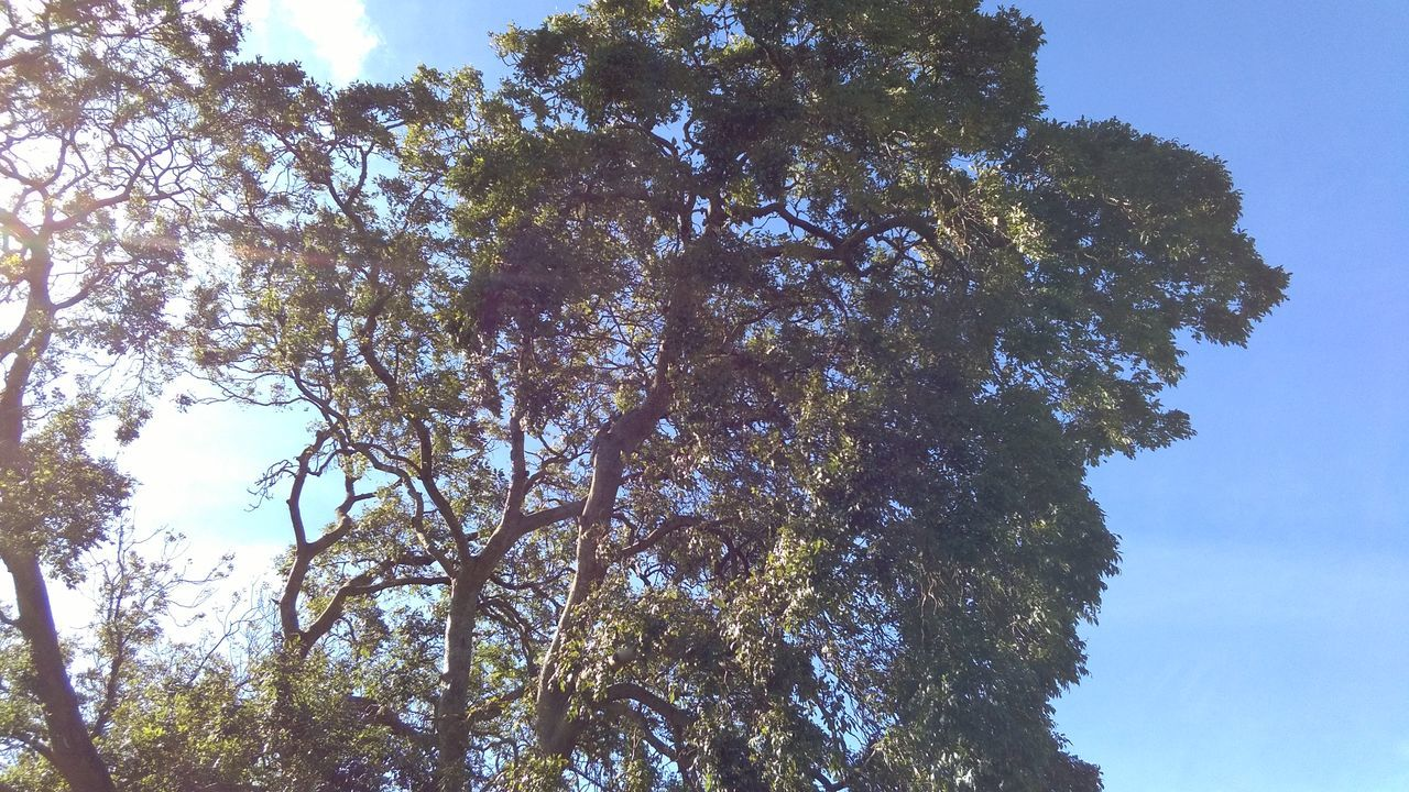 tree, low angle view, nature, growth, beauty in nature, day, sky, forest, no people, outdoors, tranquility, branch, blue sky, high
