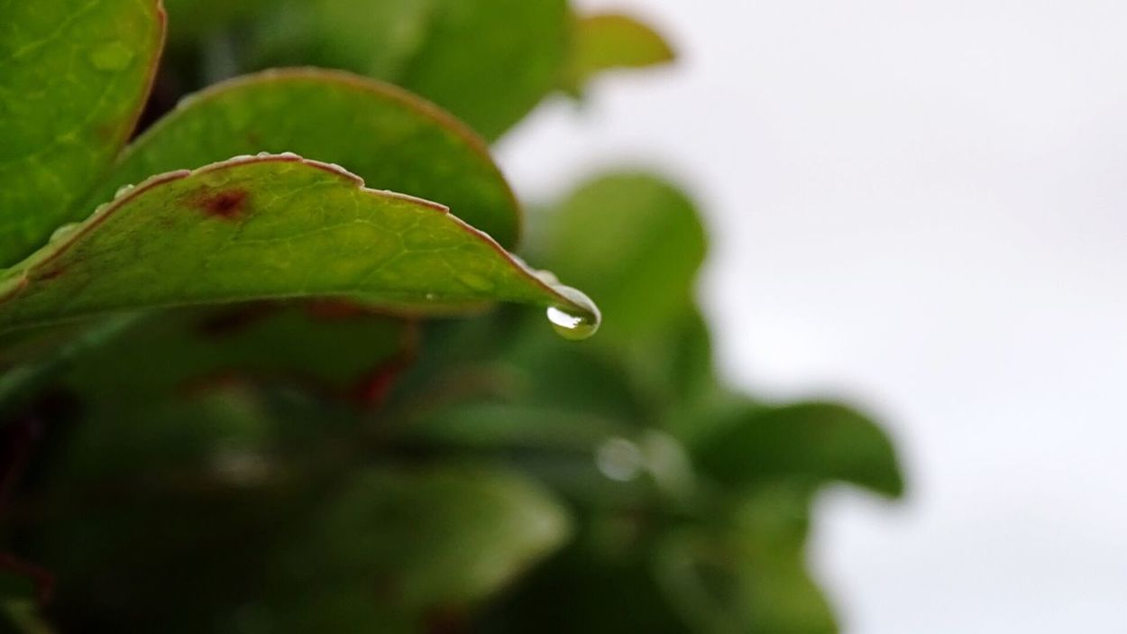 Macro Leaf Rain Rain Drop Nature