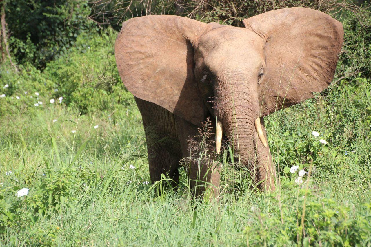 African Elephant Animal Themes Animal Wildlife Animals In The Wild Elephant Grass Green Color Landscape Mammal Nature No People One Animal Safari Animals Tusk
