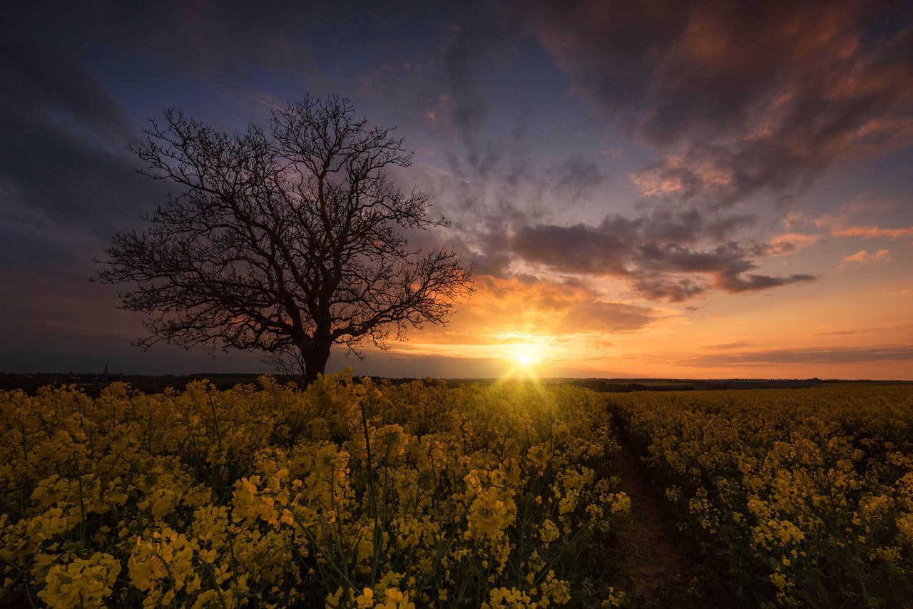 Golden Branches Beauty In Nature Tranquil Scene Scenics Tree Sunset Field Sky The Great Outdoors - 2017 EyeEm Awards Landscape Lone Tree Sunlight Sunset_collection Idyllic Rapeseed Field Rural Scene Agriculture Yellow Bare Tree Outdoors No People Fieldscape Sky And Clouds Cloudporn Northamptonshire Flowerporn