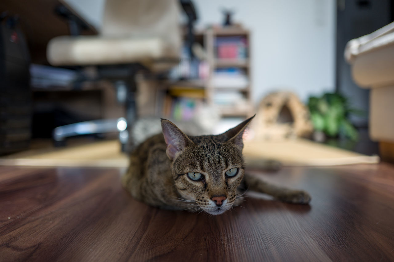 Wanda Animal Themes Bookshelf Day Desk Domestic Animals Domestic Cat Education Feline Indoors  Leicaq Library Looking At Camera Mammal No People One Animal Pets Portrait Savannah Sitting Tabby Cat