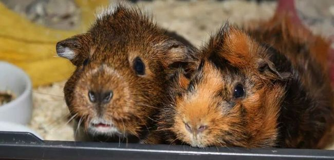 Both are gone now and we miss them every day. ? Guinea Pig Cutest Animal