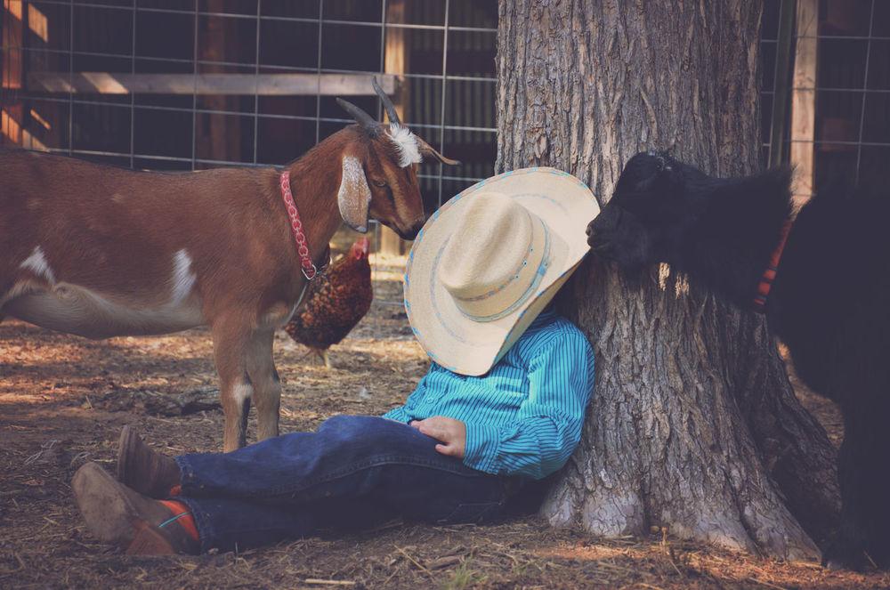 Cowboy Day Farm Farm Life Goats Herbivorous Lifestyles Little Cowboy Livestock Lying Down Outdoors Relaxation Resting