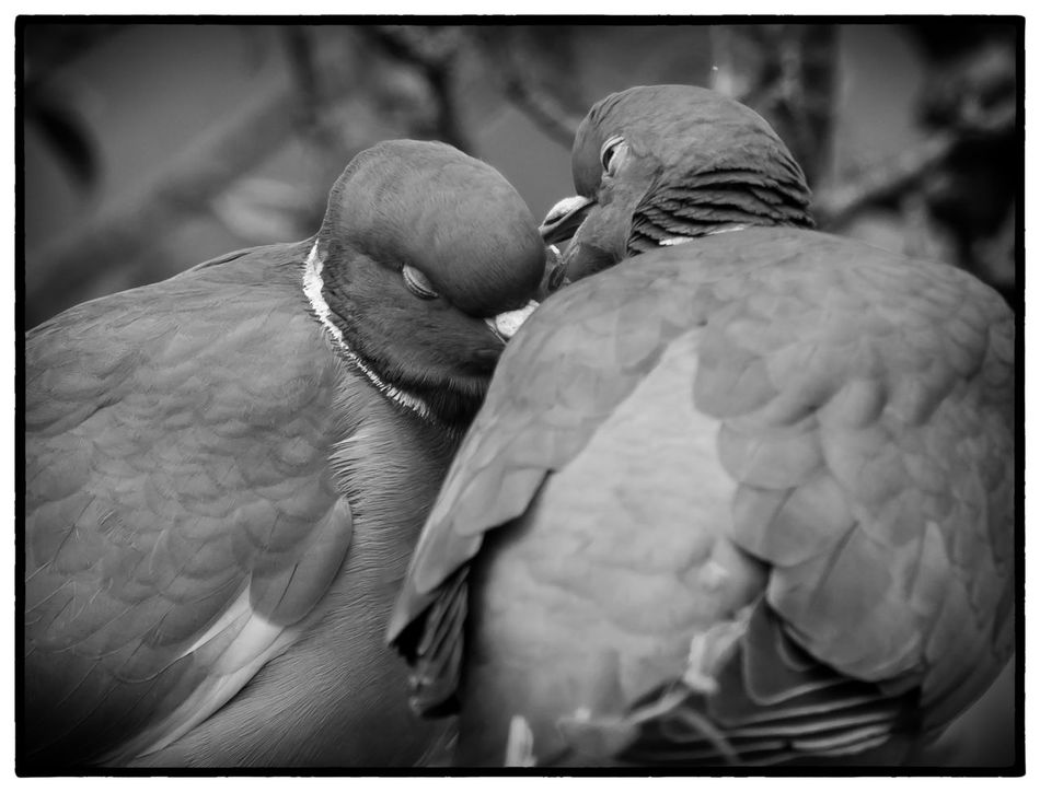 Pidgeons Petting Animal Themes Animals In The Wild Bird Black & White Close-up Courtship Day Feather  Kissing Love Mourning Dove No People Outdoors Perching Pidgeon  Togetherness