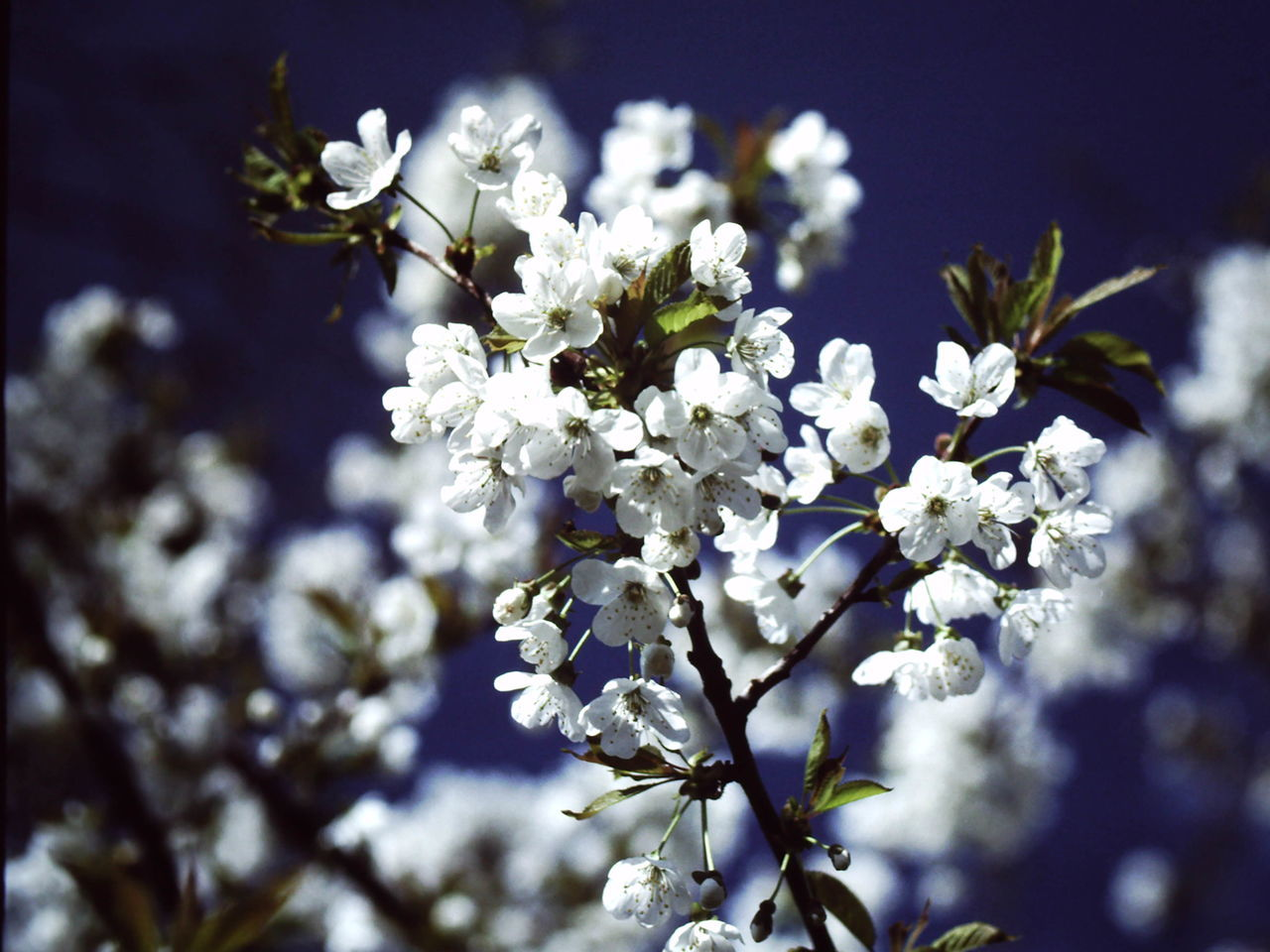 spring Analogue Photography Beauty In Nature Blossom Branch Close-up Day Flower Flower Head Focus On Foreground Fragility Freshness Growth Nature No People Outdoors Petal Plum Blossom Springtime Tree White Color