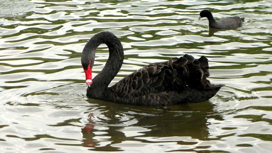 Black Swan Swan Swan On The Lake Animal Wild Animal Bird Bird On Water Swan On Water Nature Photography Animal In Nature Wild Bird