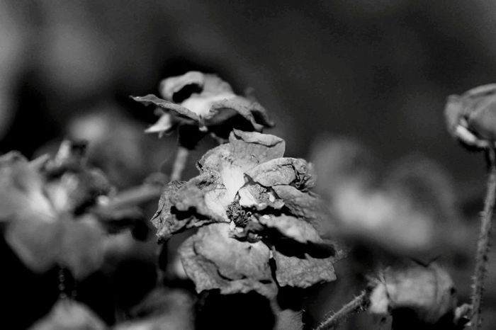 My View Blackandwhite No People Nature Roses Dead Roses Beauty In The Darkness Eye4photography  Eyemphotography EyeEm Best Shots Flowers