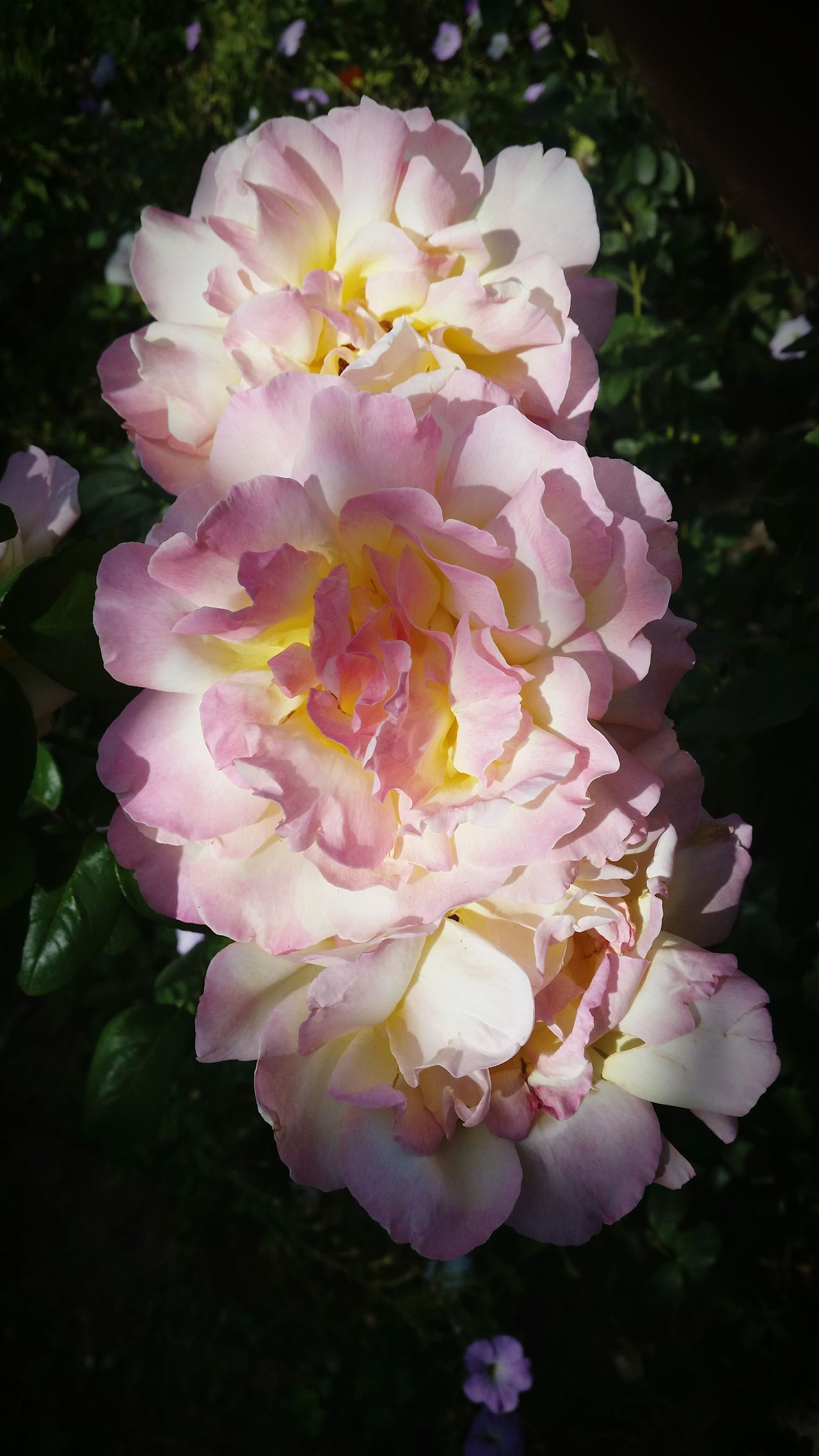 Beauty In Nature Flower Nature Pink Color Close-up Petal Flower Head Outdoors Freshness Growth No People Fragility Flowers Rose - Flower Rose🌹 Roses Roses Flowers  Roses🌹