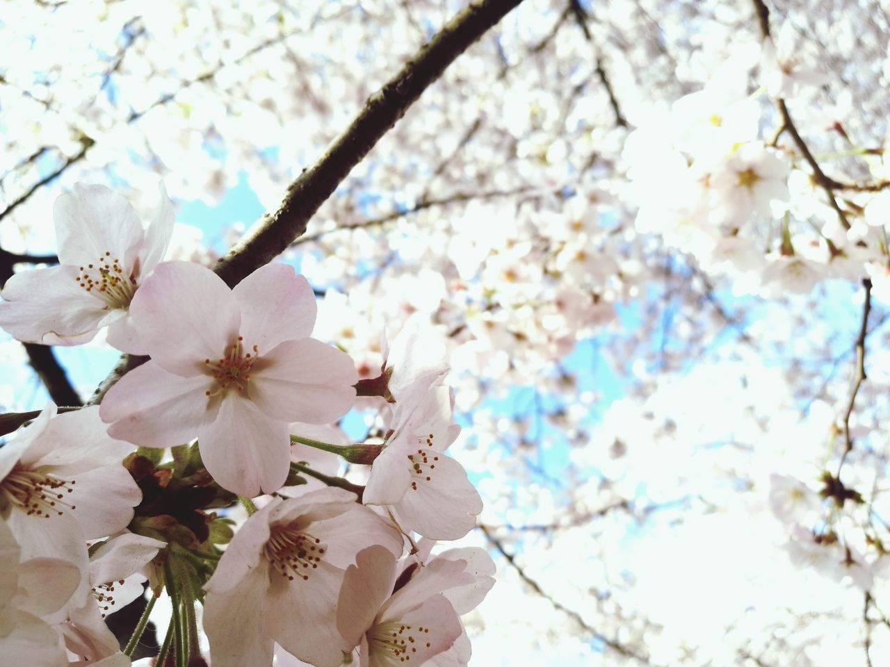 First Eyeem Photo Spring Kinuta Park Tree Flower Nature Growth Beauty In Nature Branch Springtime Blossom Close-up Fragility No People Petal Outdoors Flower Head Cherry Blossom Almond Tree Day Low Angle View Freshness First Eyeem Photo