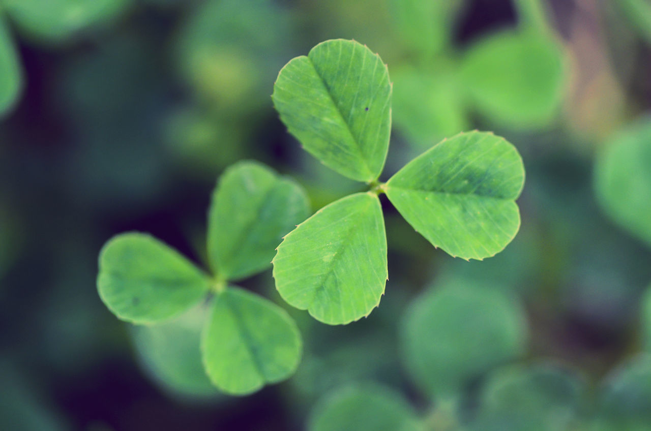 Beautiful stock photos of st patricks day, Close-Up, Clover, Day, Focus On Foreground