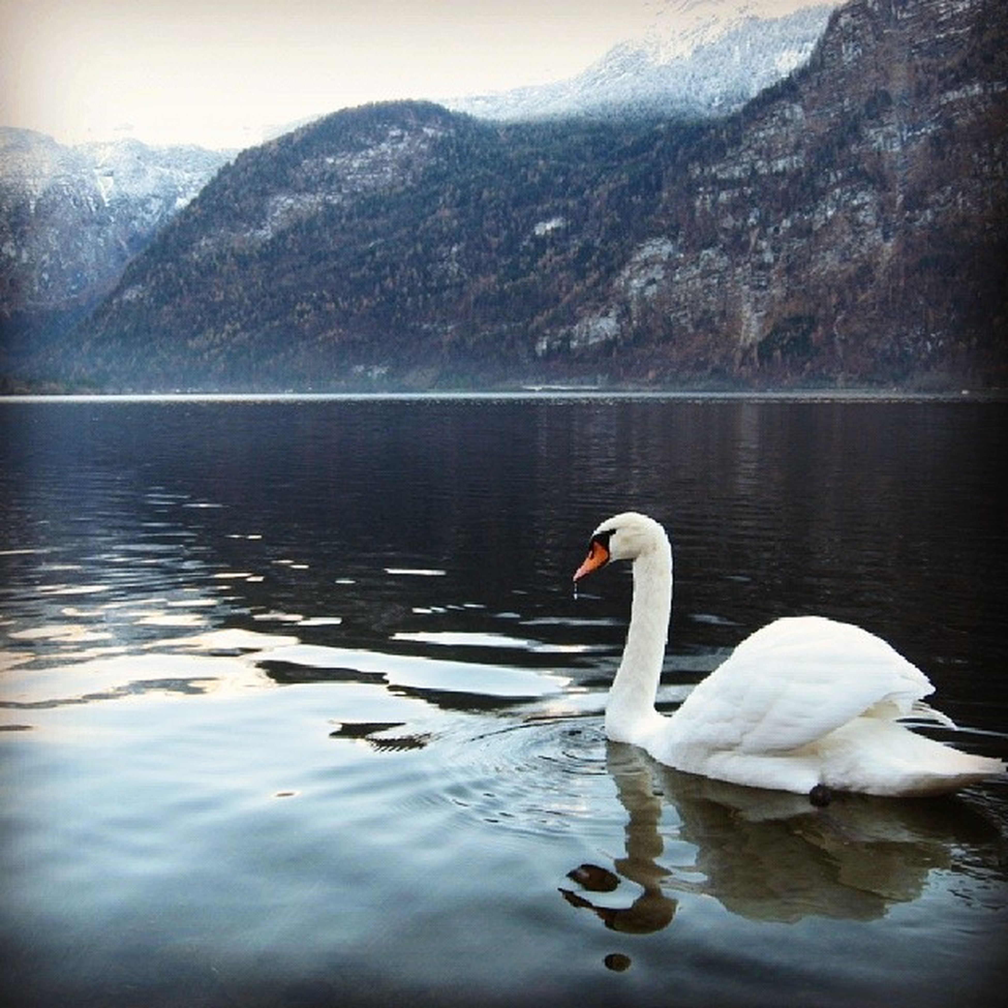 water, lake, bird, swan, animal themes, reflection, animals in the wild, wildlife, waterfront, swimming, nature, white color, water bird, beauty in nature, tranquility, rippled, tranquil scene, floating on water, outdoors, no people