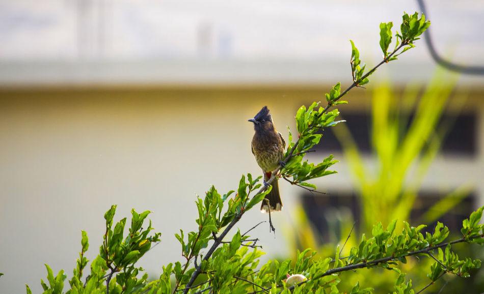 Bird On A Branch Bulbul Bulbul On A Cute Bird🐥 Nature Nature Photography 👣 Rainy Days☔ Rainy Season Red Vented Bulbul Red Whiskerd Bulbul Wildlife & Nature Wildlife And Nature Wildlife Photography Wildlifephotography