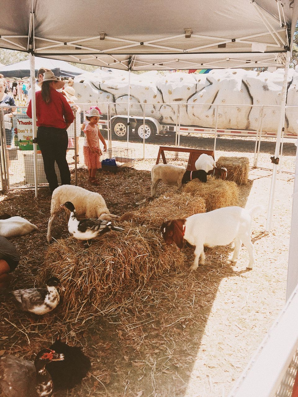 livestock, domestic animals, animal themes, mammal, sheep, full length, herbivorous, large group of animals, indoors, flock of sheep, lamb, standing, real people, day