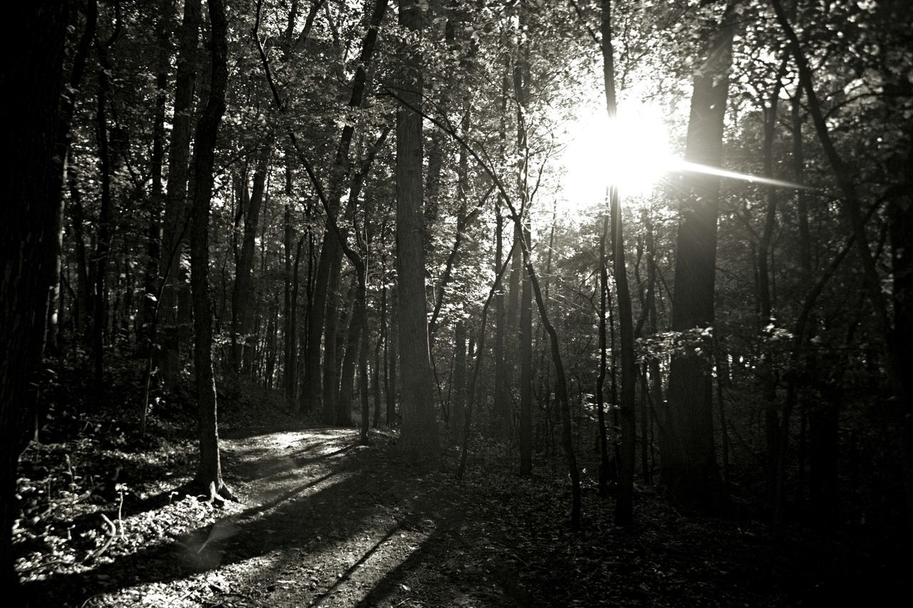 forest, tree, sunbeam, nature, sunlight, tranquility, sun, tranquil scene, beauty in nature, no people, growth, day, outdoors, scenics