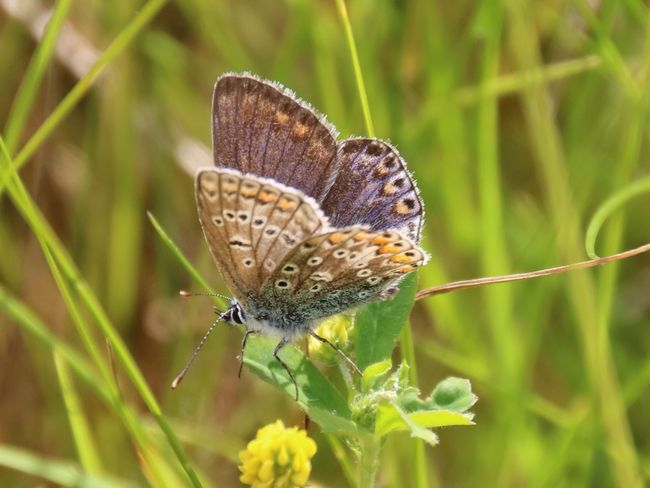 Butterfly ❤ Butterfly Butterfly Collection Bugslife Forest Floor Wildlife Photography Naturelovers Nature_collection Wildlife Insect Insect Photography Bugs Insects  Countryside Insects Collection Common Blue Butterfly Common Blue