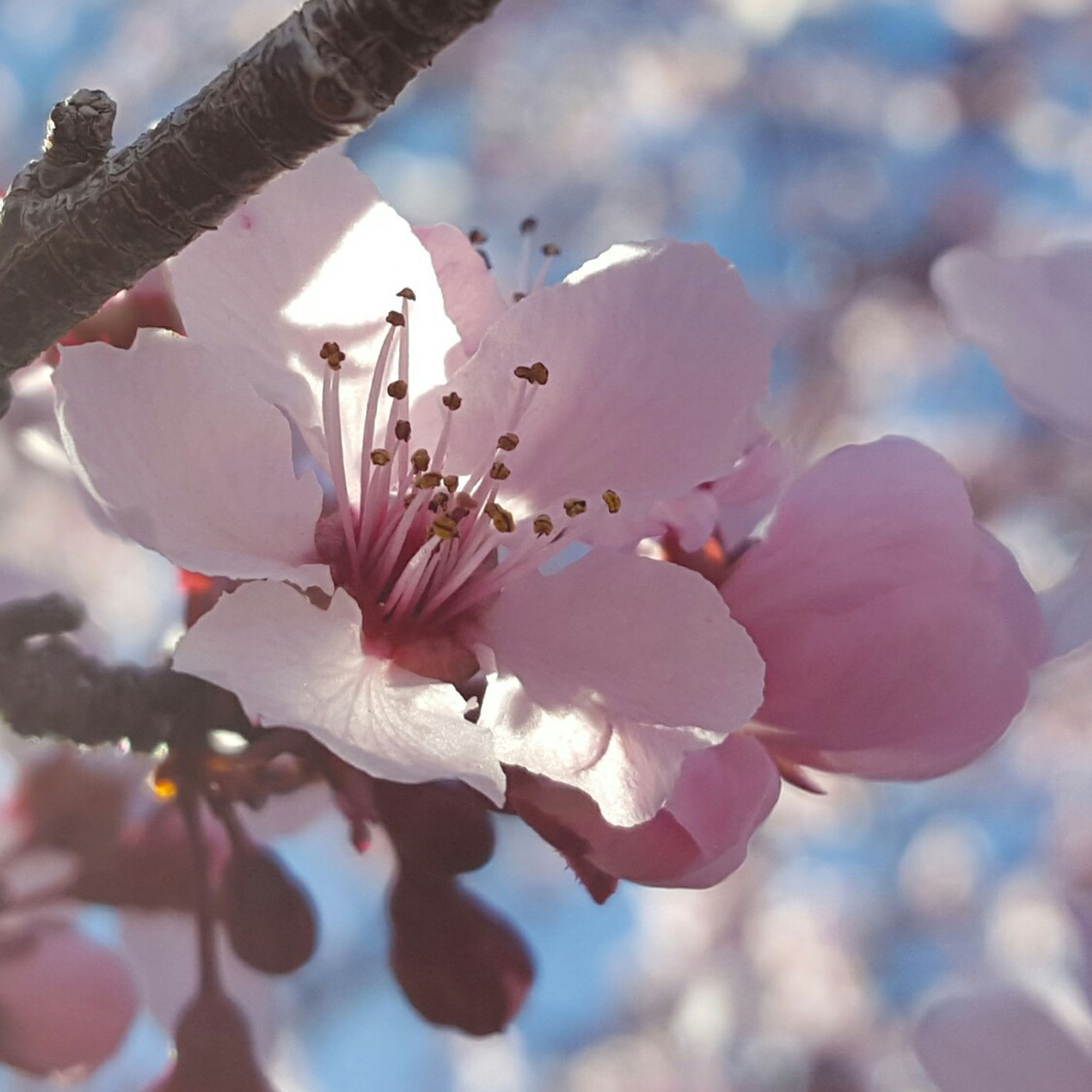 flower, fragility, petal, freshness, flower head, growth, beauty in nature, blooming, pink color, nature, close-up, focus on foreground, in bloom, blossom, cherry blossom, low angle view, tree, pollen, day, sky