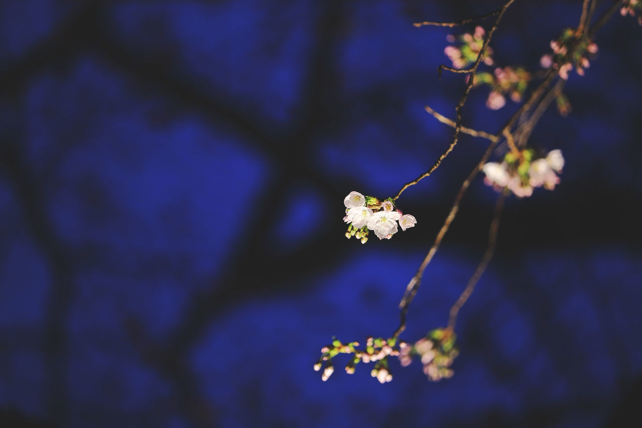 flower, fragility, growth, nature, beauty in nature, tree, branch, petal, blossom, close-up, freshness, twig, springtime, no people, blooming, flower head, outdoors, day, low angle view