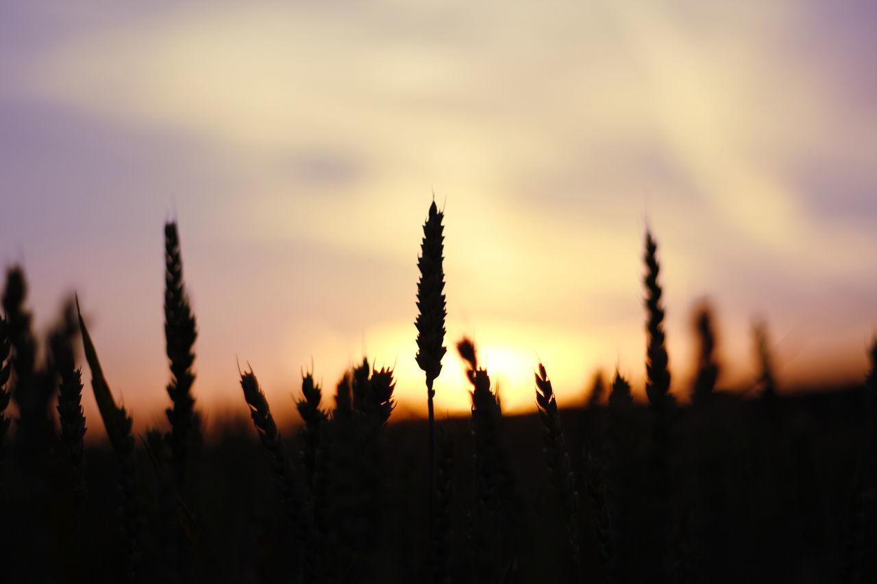 Beauty In Nature Clouds Feld Focus On Foreground Growth Idyllic Korn Kornfeld Landscape Nature No People Outdoors Plant Schattenspiel  Silouette & Sky Sky Sonnenuntergang Sonnenuntergang ❤ Sunset