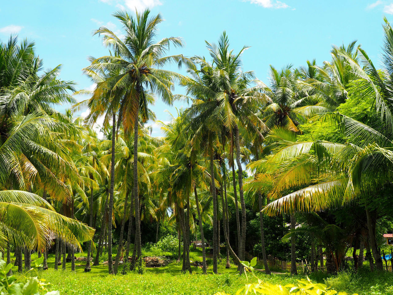 Beauty In Nature Coconut Palm Tree Day Field Grass Green Green Color Growing Growth Idyllic Landscape Lush Foliage Nature No People Non-urban Scene Outdoors Palm Tree Plant Scenics Sky Tranquil Scene Tranquility Tree Tree Trunk Tropical Climate