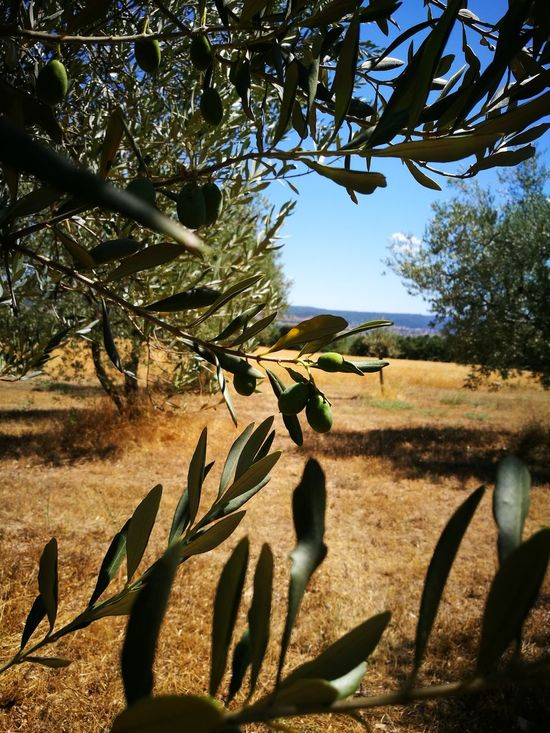 Nature Sunlight Landscape Sky Plant Outdoors Olive Garden Tree Olea Rural Scene Agriculture Plant Cultivated