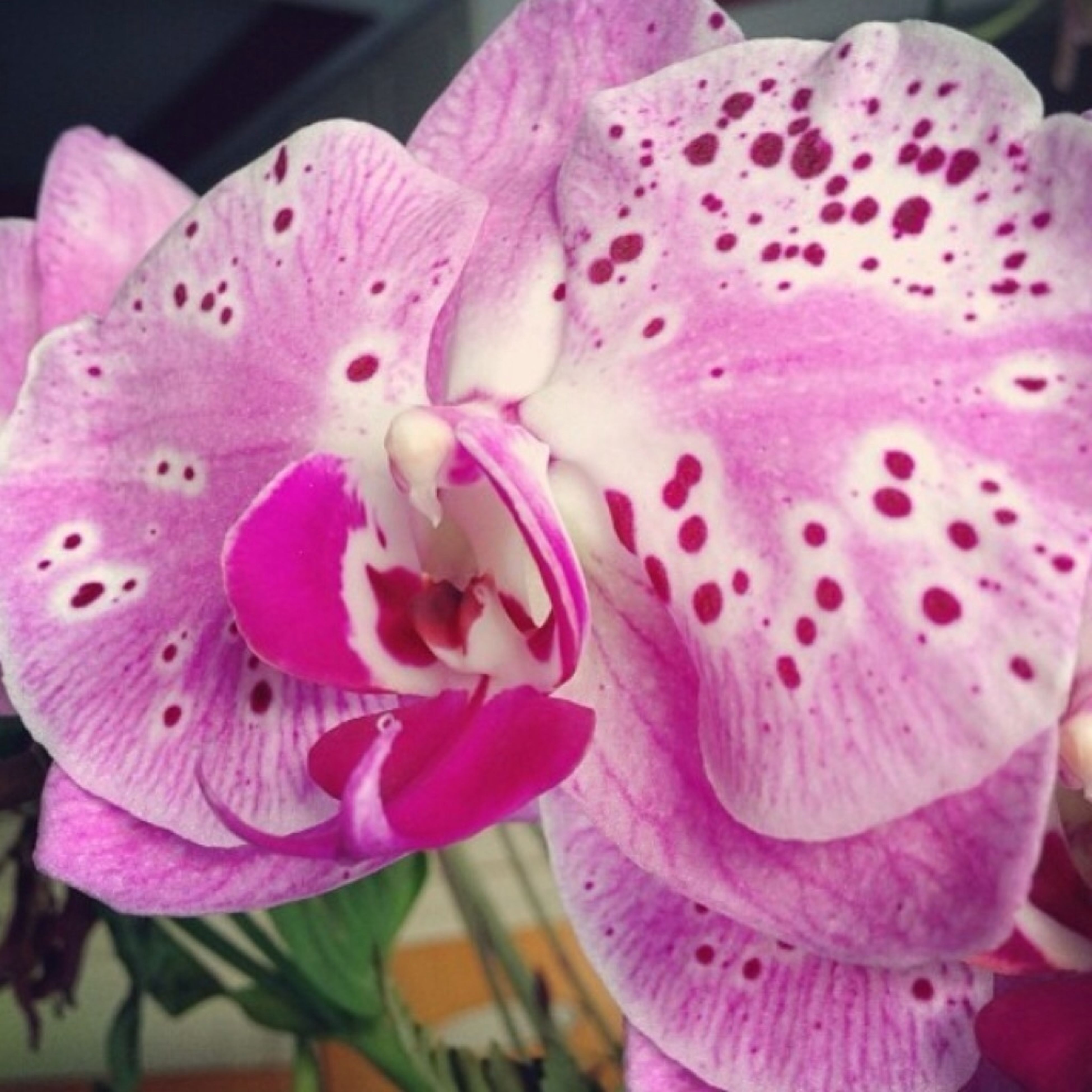 flower, petal, freshness, flower head, fragility, close-up, pink color, beauty in nature, nature, growth, blooming, pink, focus on foreground, no people, single flower, natural pattern, orchid, in bloom, pollen, day