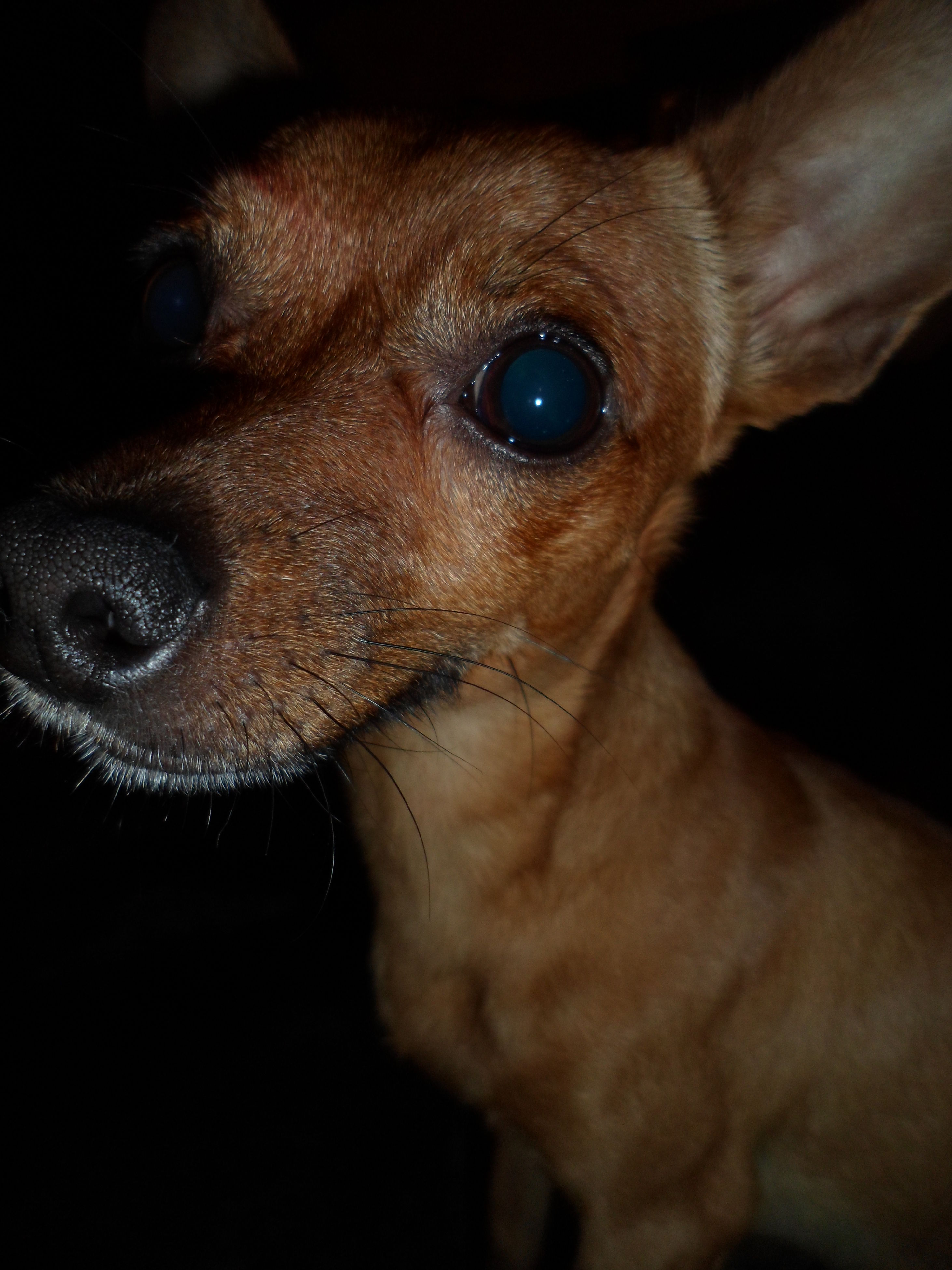 dog, pets, one animal, domestic animals, animal themes, mammal, close-up, animal head, no people, portrait, black background, indoors, day