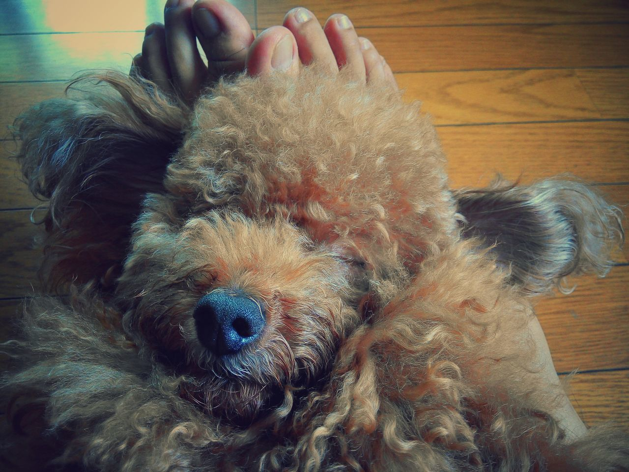 Sleeping beauty 😍 Poodle Relaxing Dog Lover Cute Dog  Doglife Poodletoy Cutepet Resting Laziness Animal Nose Focus On Foreground