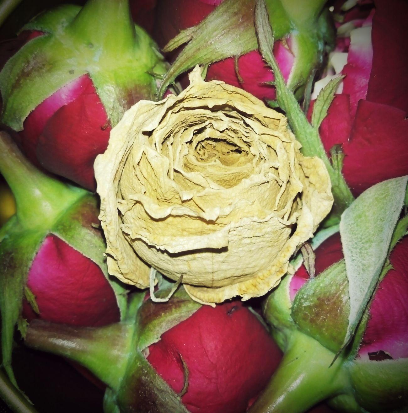 Old Rose White Rose Red Roses Vignette Cameraphoneshot Oldshot