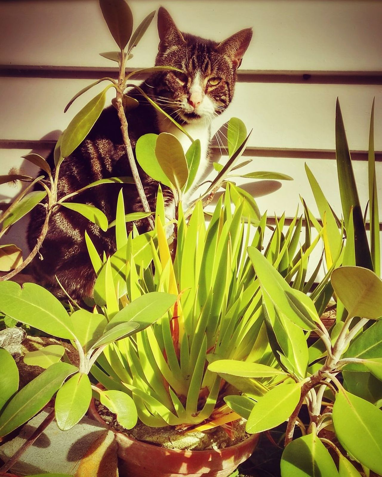 Pussy.. Cat Potted Plants Sunlight Garden Porirua Autumn Leaf Nature Growth Plant No People Close-up Day Beauty In Nature Indoors  Animal Themes Freshness HuaweiP9