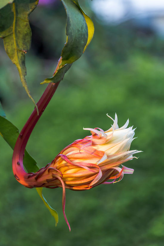 The orchid cactus(cereus) called Queen flower of the night. Close-up Flora; Flower Fragility Freshness Garden; Nature Night Blooming; Night; No People Orchid Cactus; Outdoors Peonies; Pink; Plant; Pretty; Tropical; Twilight; White;